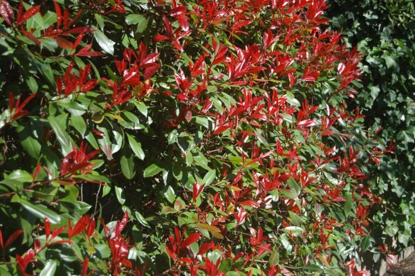 Why red tips die in the south southern living highergroundgardens com e1469559663370g mightylinksfo