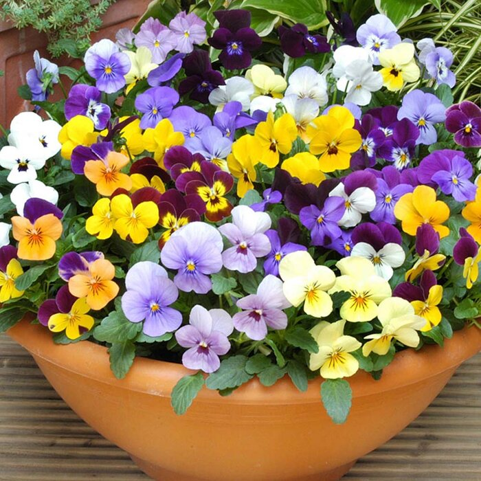 Image result for viola plants