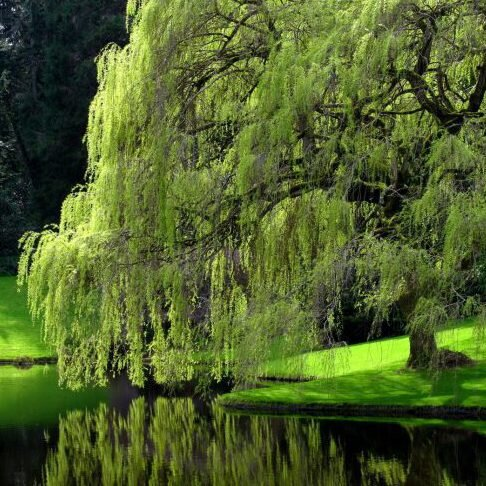 The Only Good Place For A Weeping Willow Southern Living