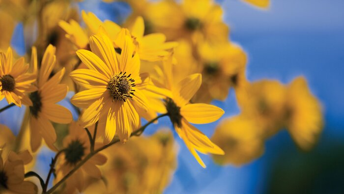 Autumn gold flowers southern living swamp sunflower mightylinksfo