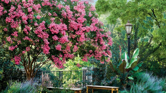 Flowering southern trees you need to plant now southern living crepe myrtle mightylinksfo