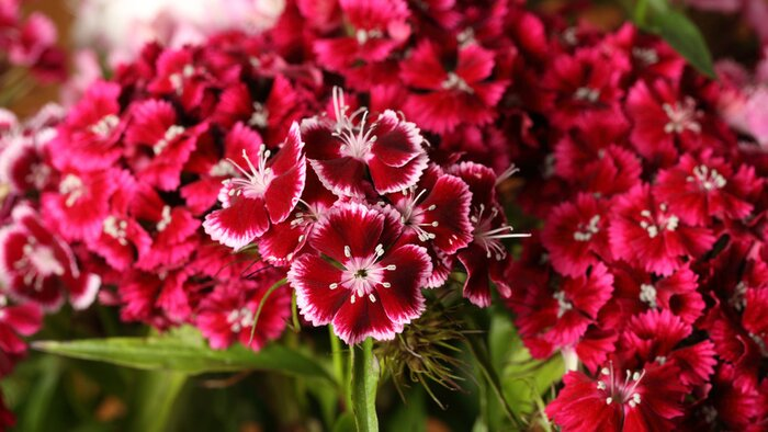 Spring perennials your garden needs now southern living dianthus mightylinksfo