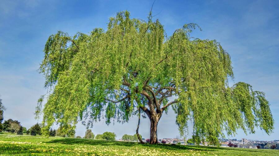 Rx 1806 Weeping Willow Tree For Yard