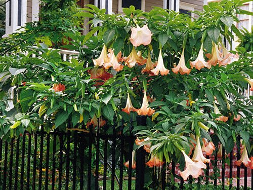 Angels trumpets southern living angels trumpets mightylinksfo