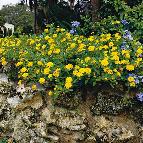 Nonstop blooms with lantana southern living foolproof flower mightylinksfo