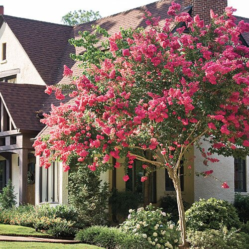 The complete guide to crepe myrtle trees southern living southern gardening tips crepe myrtle crape myrtle flowering trees mightylinksfo