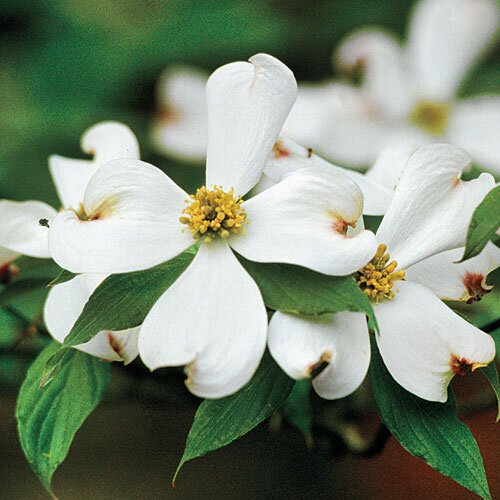 The complete guide to flowering dogwoods southern living flowering dogwood mightylinksfo