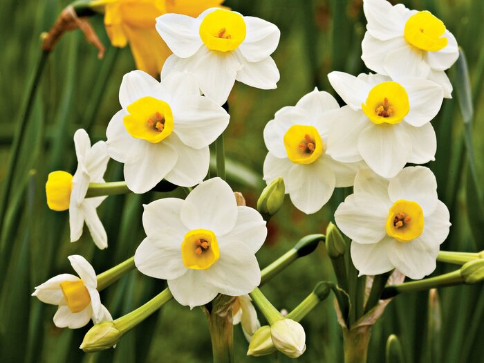Plantageddon what to do to protect your spring flowers from frost avalanche daffodils mightylinksfo