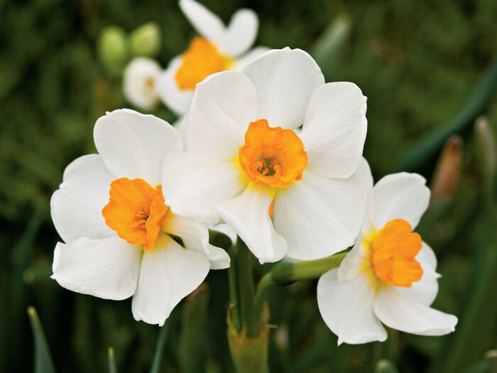 The complete guide to daffodils southern living geranium daffodils mightylinksfo