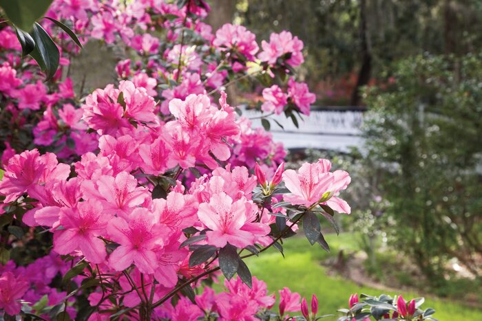 The complete guide to azaleas southern living the azalea is the number one must have plant in the south mightylinksfo