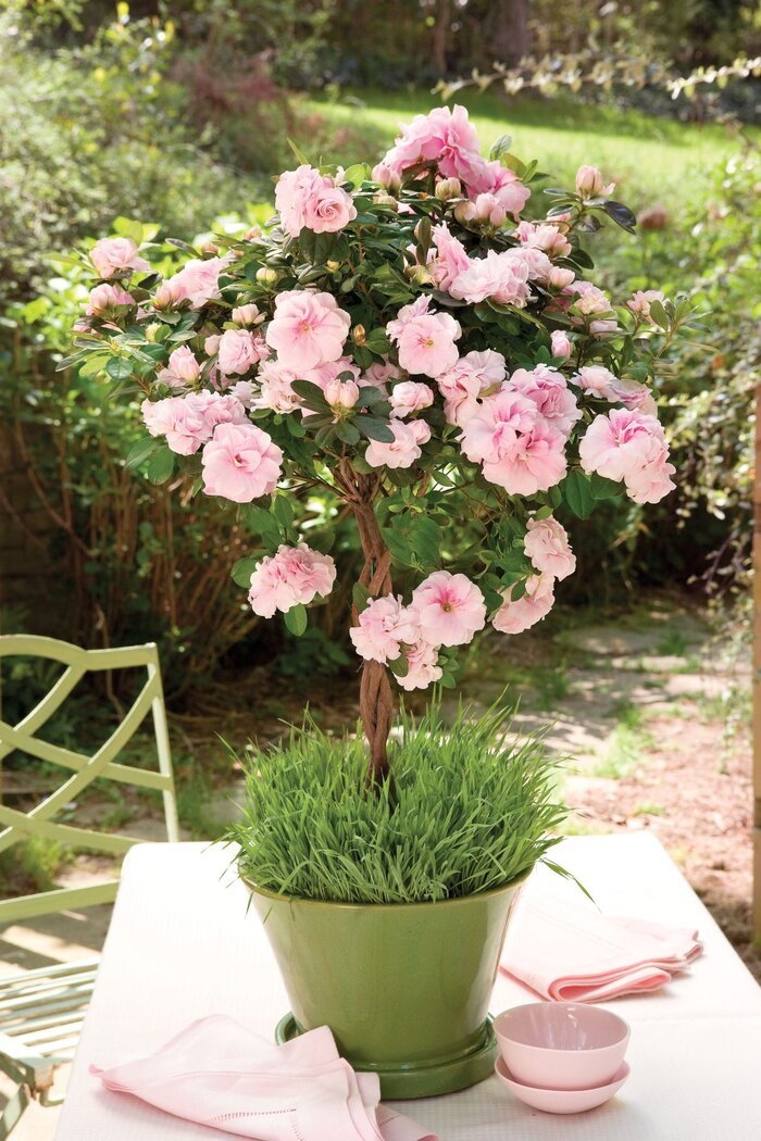 Spring pink blooms southern living spring pinks mightylinksfo