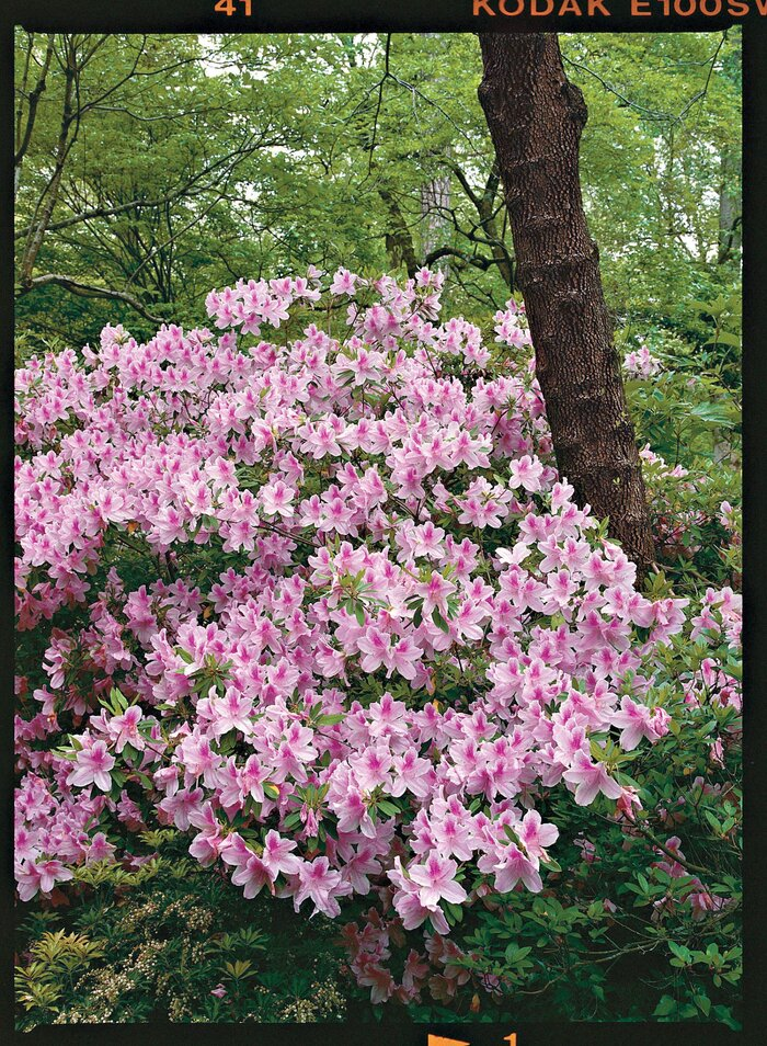 Azaleas Made Simple - Southern Living
