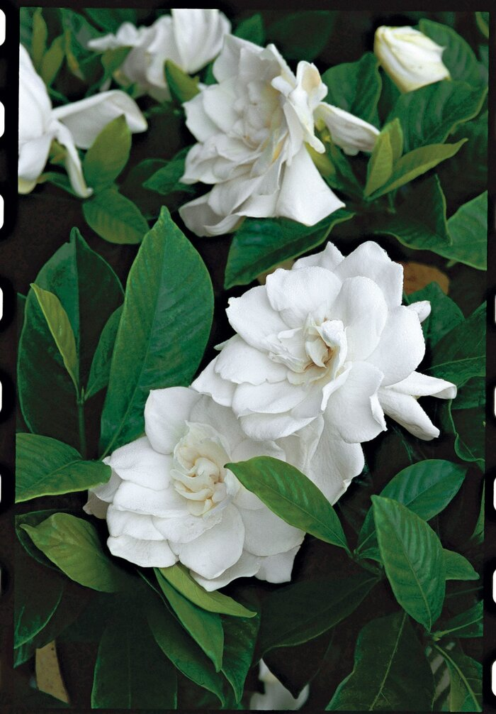 Gardenias a fragrance that captivates southern living gardenias mightylinksfo