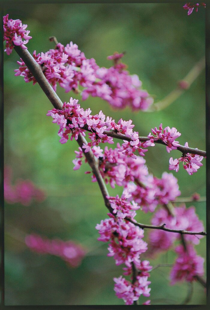 The complete guide to redbuds southern living red bud mightylinksfo