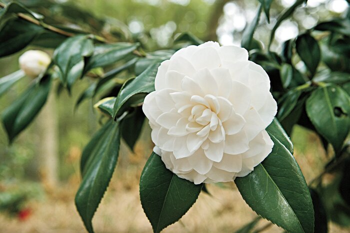 The complete guide to camellias southern living this beautiful flowering shrub has a long blooming season and loves the southern climate mightylinksfo