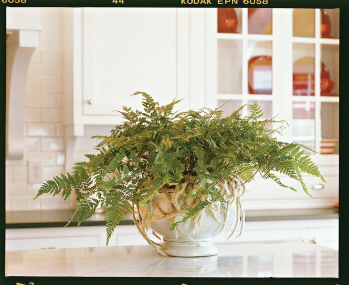 Five Great Indoor Ferns Southern Living