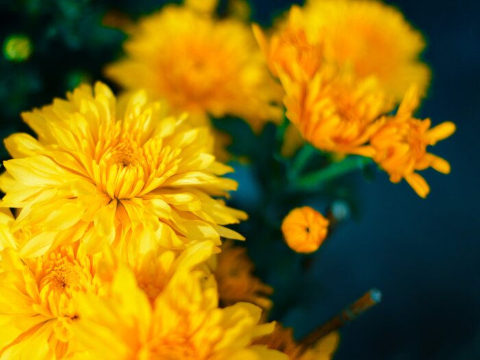 How to grow chrysanthemums southern living chrysanthemum flower mightylinksfo