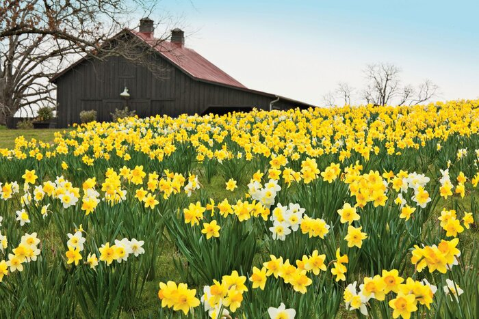 4 reasons why your daffodil bulbs arent blooming southern living yellow daffodils in field with barn mightylinksfo