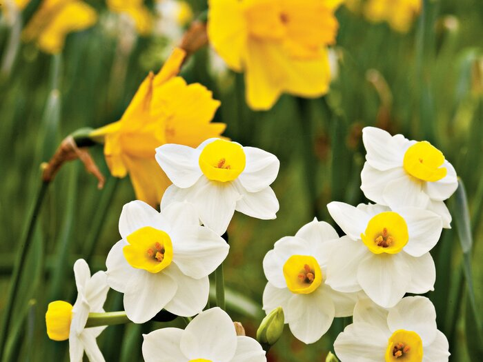 Daffodil flower facts southern living we know its finally spring when the daffodils burst into bloom the carlton daffodil has a bright yellow bloom in early spring while falconet brings mightylinksfo