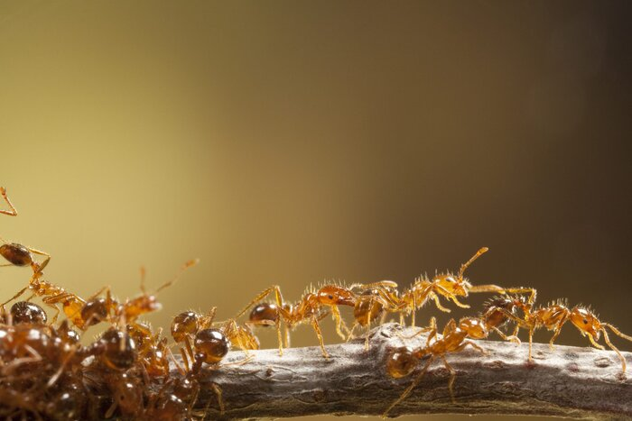 Major And Minor Workers Of The Imported South American Fire Ant Solenopsis Invicta From Mira Mesa In San Diego County California