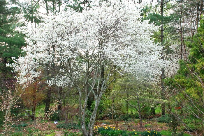 After you cut down your bradford pear plant this southern living serviceberry offers showy flowers spectacular fall foliage and edible tasty fruits mightylinksfo