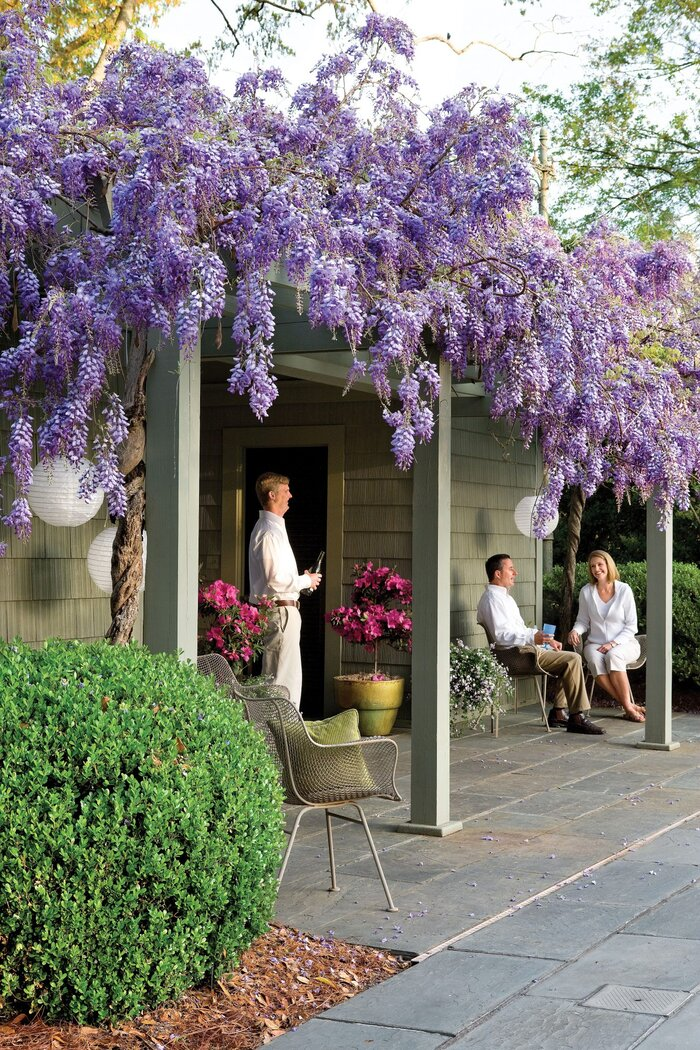 Beautiful purple wisteria flowers with fragrant blooms southern living wisteria vines mightylinksfo