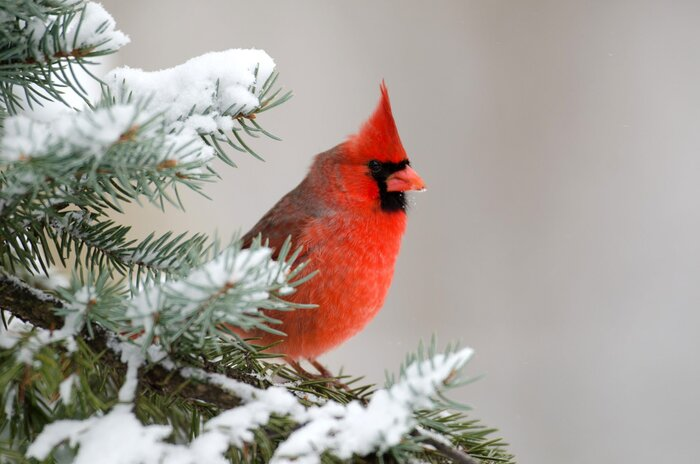 Why The Northern Cardinal Is A Favorite Winter Bird Southern Living