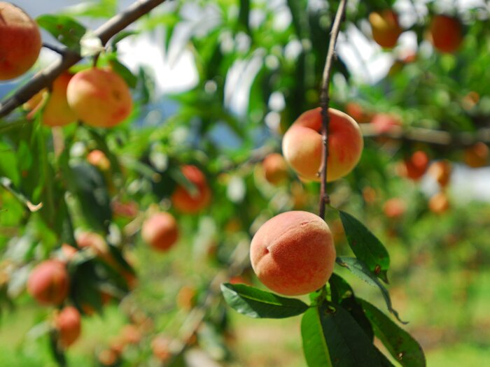 Image result for peach high on tree
