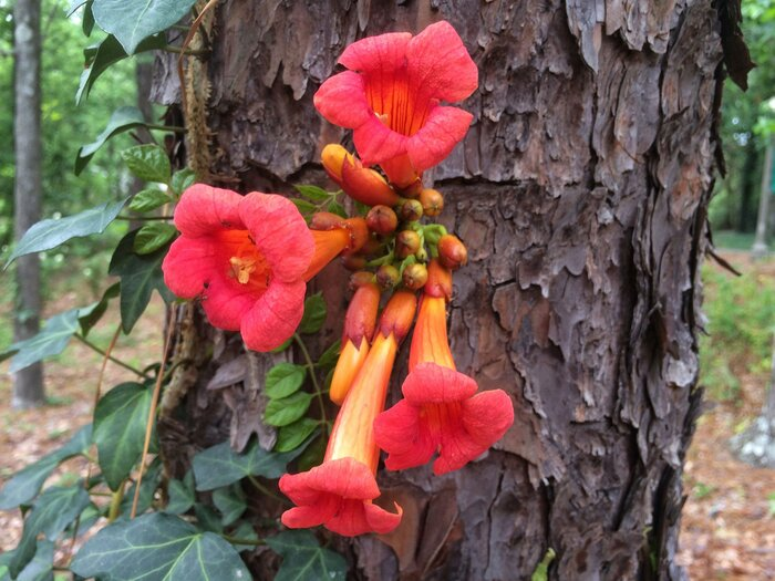 Just say no to trumpet vine southern living native trumpet vine mightylinksfo