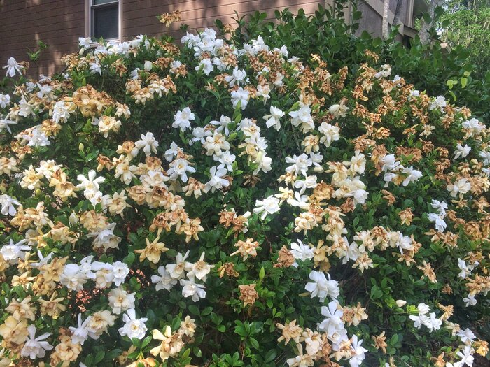 The worst place for your gardenia southern living white and brown gardenia flowers mightylinksfo
