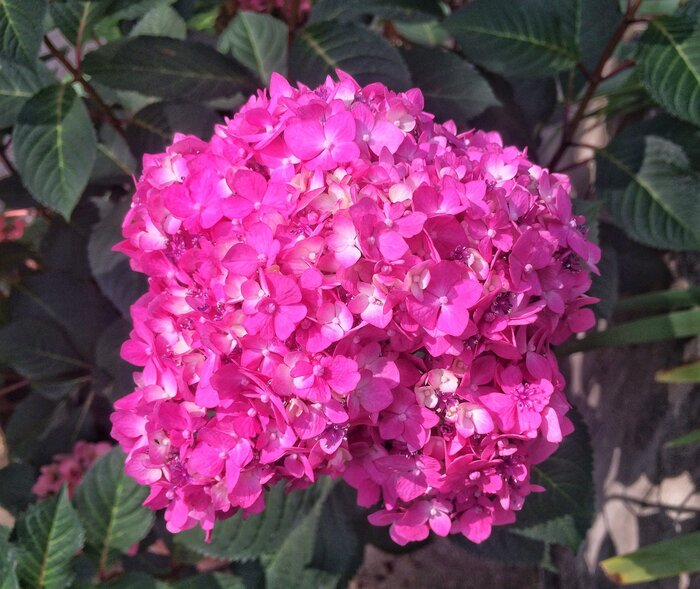 How long does it take to turn a pink hydrangea blue southern living pink hydrangea bloom mightylinksfo Choice Image