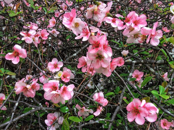 Plant This Quazy Quince! - Southern Living