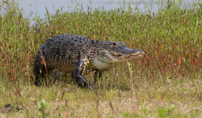 Massive alligators causing a ruckus in florida and texas this week southern living florida texas alligator sightings forumfinder Images
