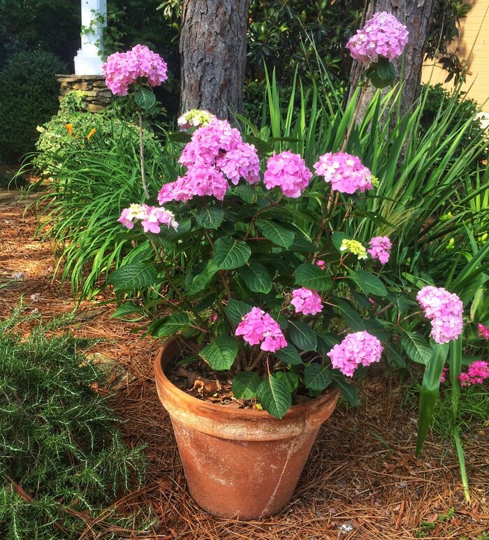 Grow hydrangeas in pots southern living pink hydrangea in pot mightylinksfo