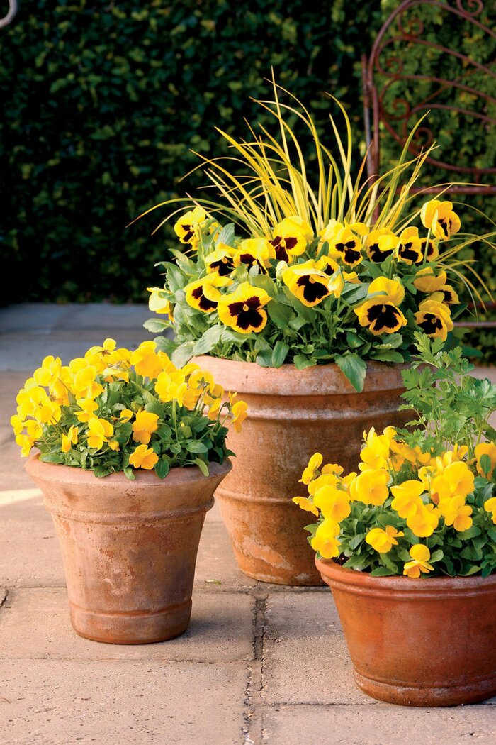 10 flowers that thrive in full sun southern living yellow pansies mightylinksfo