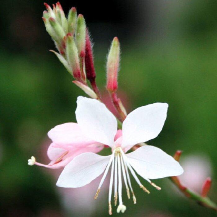 Gaura lindheimeri sunset magazine gaura lindheimeri onagraceae perennials flowers mightylinksfo