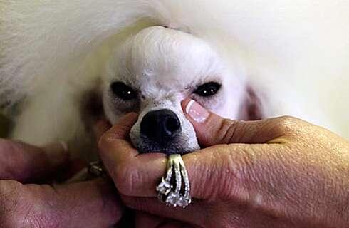 137th Westminster Dog Show | SI com